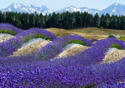 New Zealand Alpine Lavender