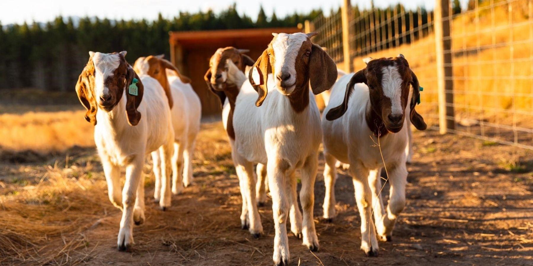 Goat herd at Luxury Lodge